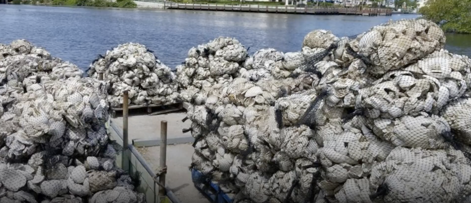 Naples Fights Flooding With Oyster Reefs